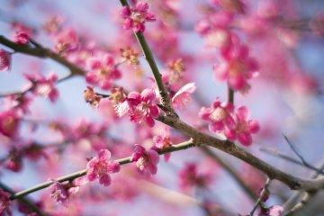 Atami Plum Garden Plum Festival