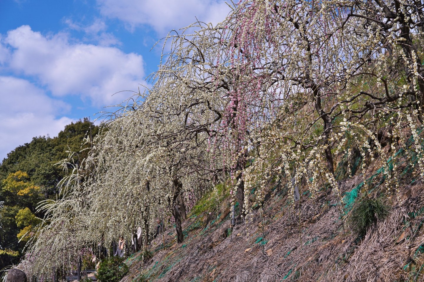 Weeping plums at Oagata Shrine
