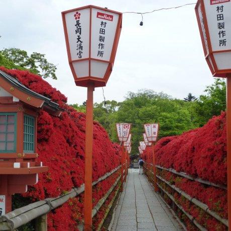 Nagaoka Tenmangu Azalea Festival