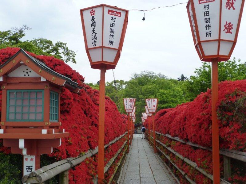 Beautiful Kirishima azaleas at Nagaoka Tenmangu Shrine in Kyoto