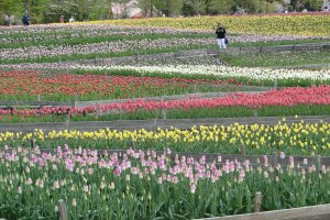 Rows and rows of tulips!