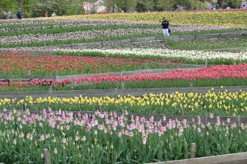 Grinpa Heavenly Tulip Festival