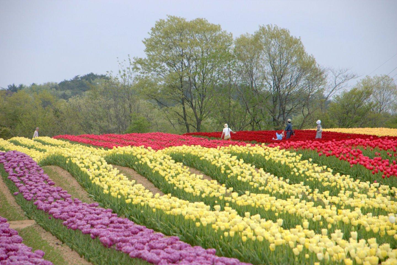Sera Kogen Farm\'s Tulip Festival