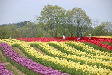 Sera Kogen Tulip Festival