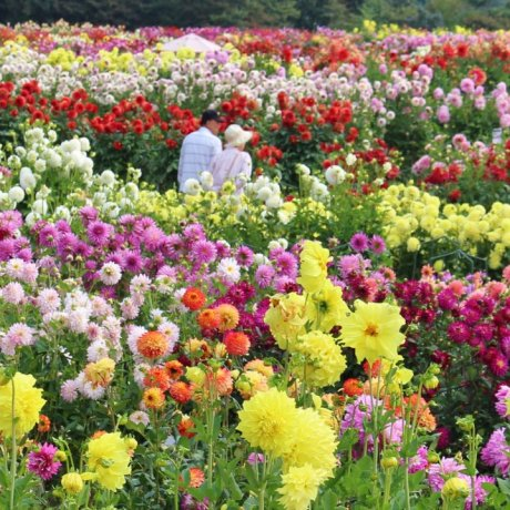 Sera Kogen Dahlia and Chrysanthemum Festival