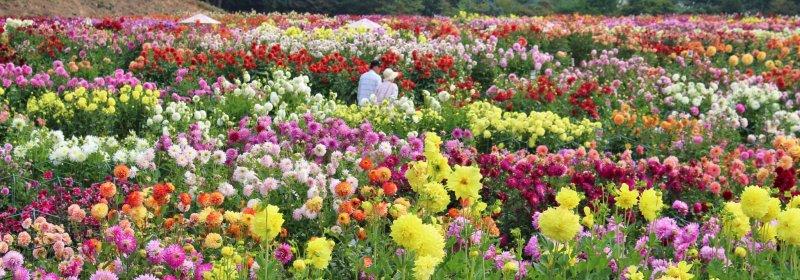 Dahlia and chrysanthemums galore!
