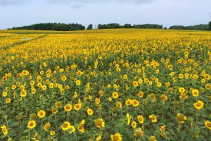 Sunflowers as far as the eye can see!