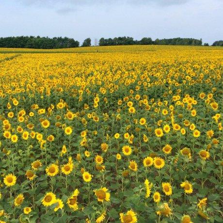 Hokuryu Sunflower Festival