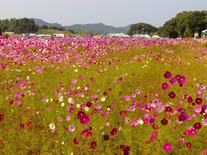 Colorful cosmos at the Toyoura Refreshment Park