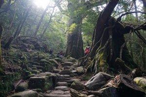 Within the primeval forest of Yakushima