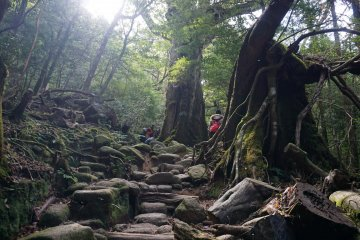 Within the primeval forest of Yakushima