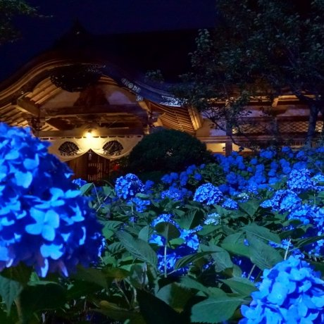 Hydrangea Viewing at Unshoji Temple