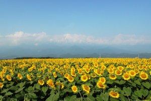 Akeno Sunflower Field