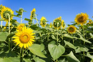 Sunflowers are such a part of Zama that they're the city's official flower