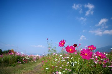 Cosmos Season at the Yume Cosmos Park