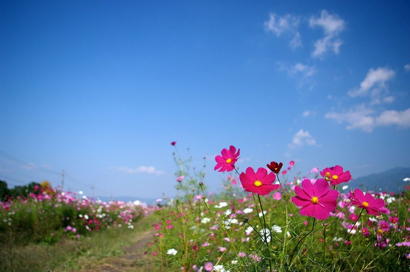 Around 8 million cosmos flowers cover the grounds of the Yume Cosmos Park