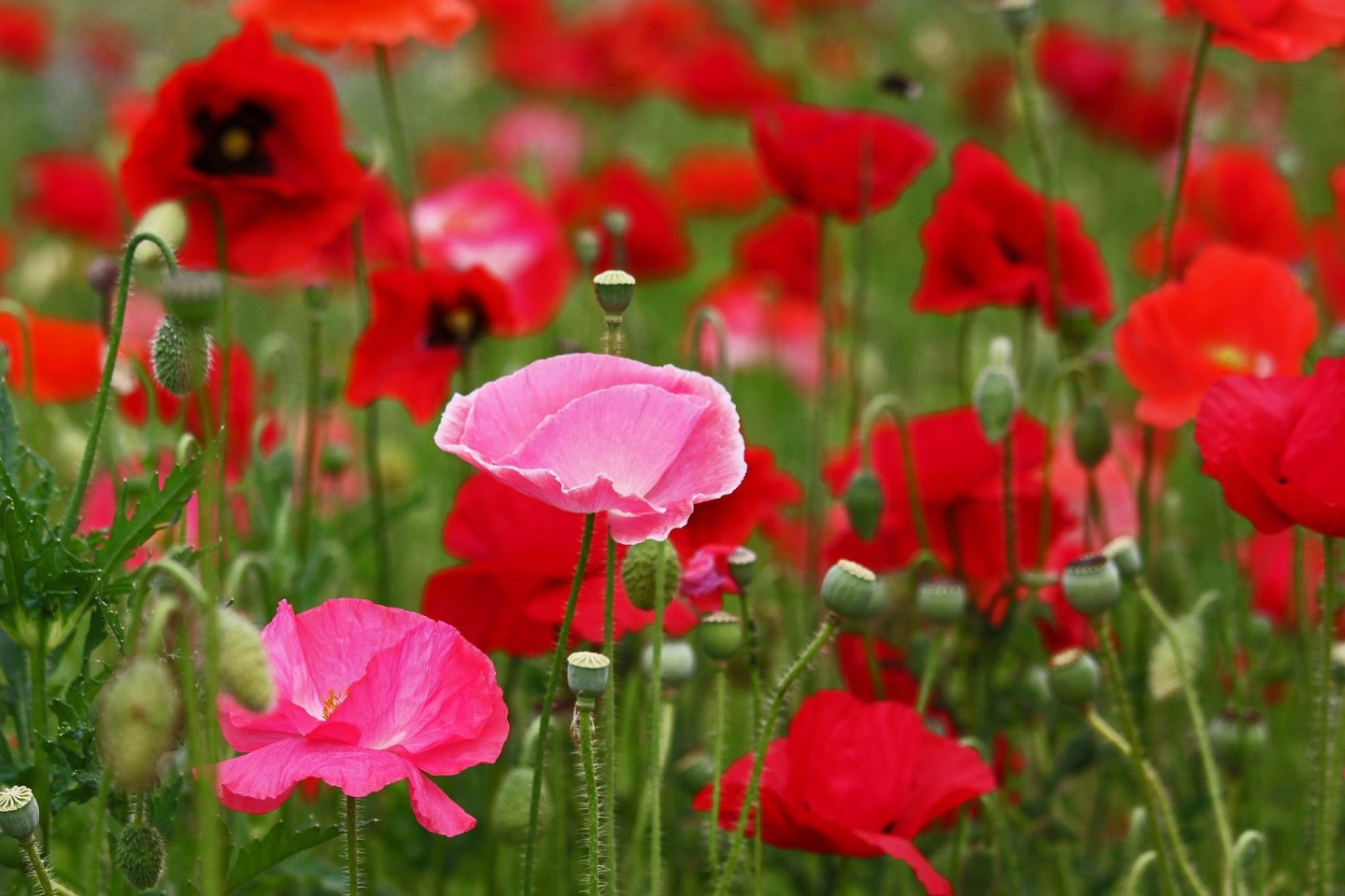Colorful poppies fill the Higashi Sanbin Flower Valley in June