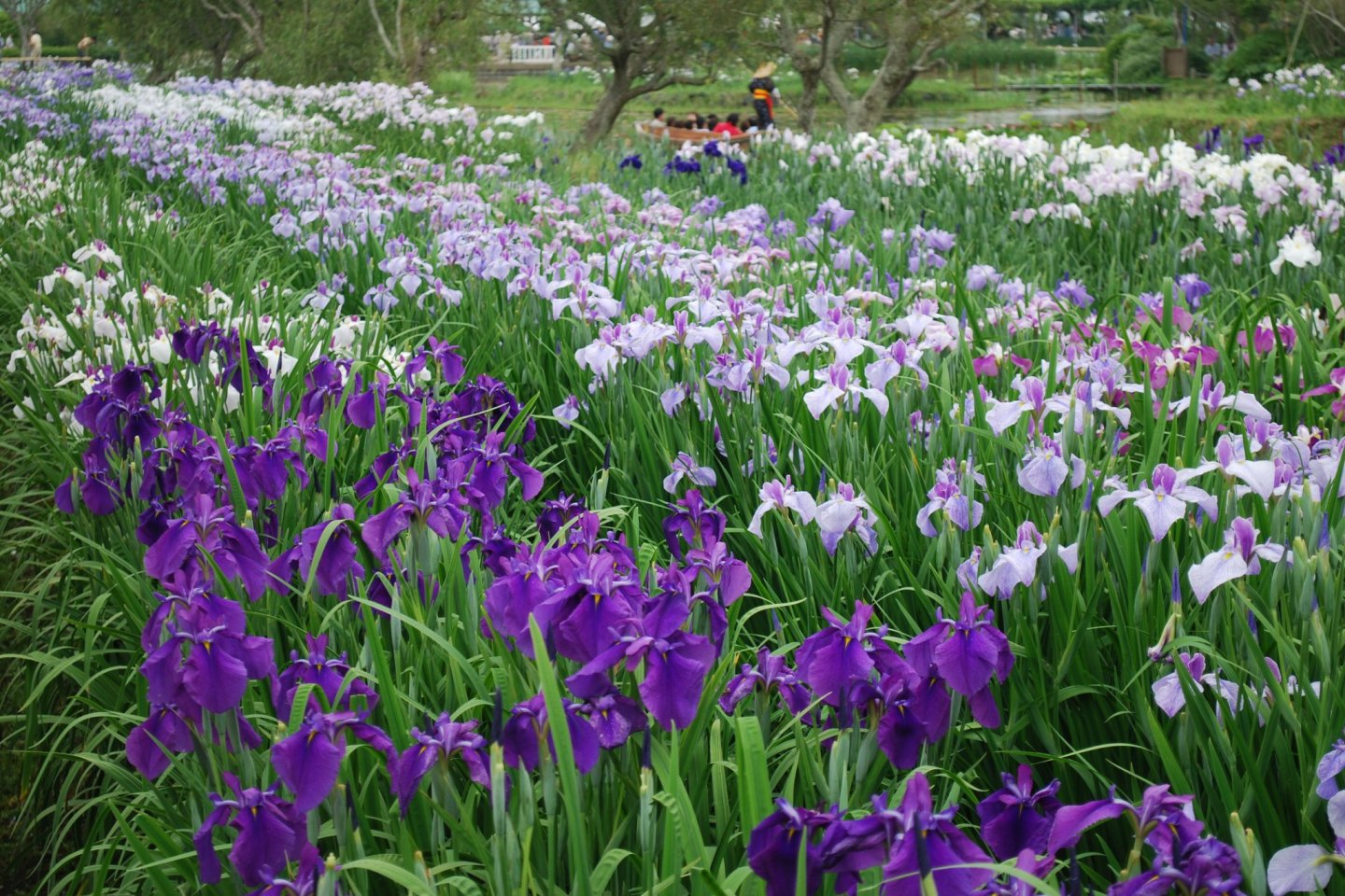 Just some of the 1.5 million irises you\'ll find here!