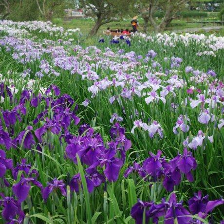 Suigo Sawara Ayame Park Iris Festival