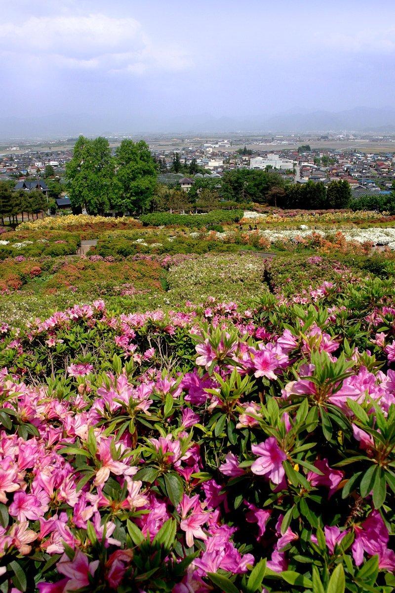 Just some of the azaleas at Sagae Park, Yamagata