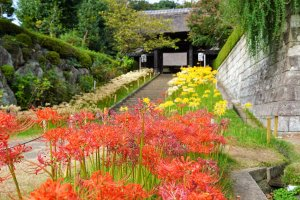 Spider lilies bloom on the grounds of Saihoji Temple in Yokohama