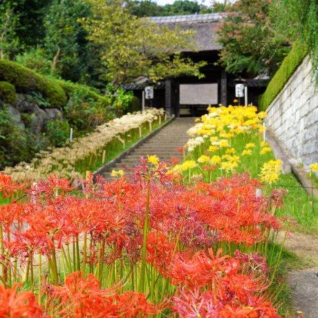 Spider Lilies at Saihoji