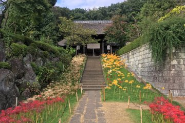 The walkway to the temple is lined with spider lilies of varying colors