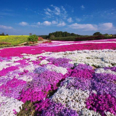 Spring Blooms at the Matsumoto Azalea Garden