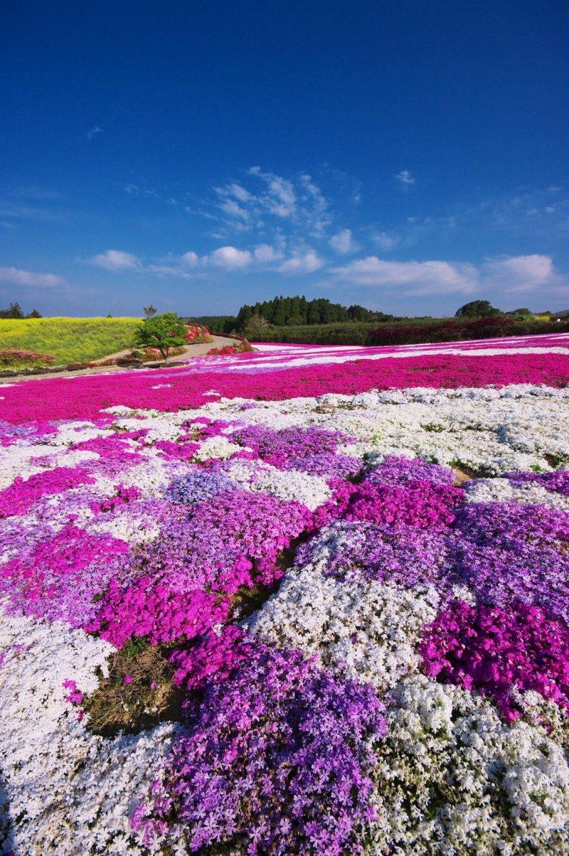 Azaleas and moss phlox (shibazakura) grow in abundance here during spring