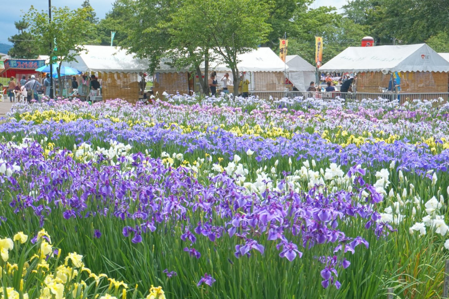 The park is home to around 600,000 irises in bloom