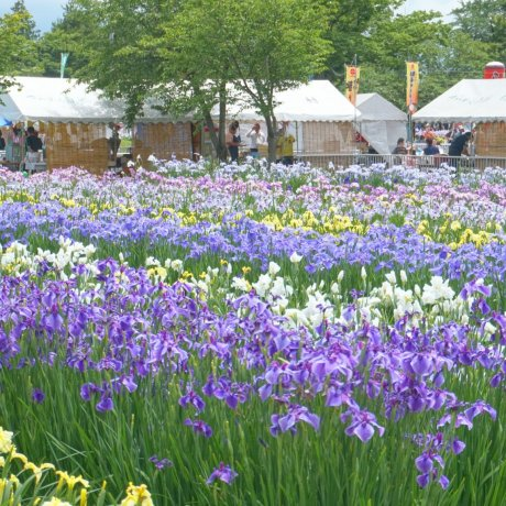 Asamai Park Iris Festival