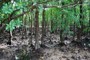 Mangrove forest on Iriomote Island, Okinawa.