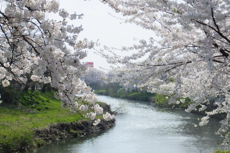 Fluffy cherry blossom trees line the Taihei River
