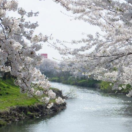 Taihei River Sakura Festival