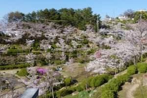 Some of the beautiful blossoming trees at Senkoji Park
