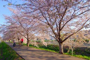 Sakura Season Along Sapporo's Shinkawa River