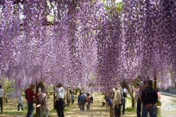 Wake Fuji Park Wisteria Festival