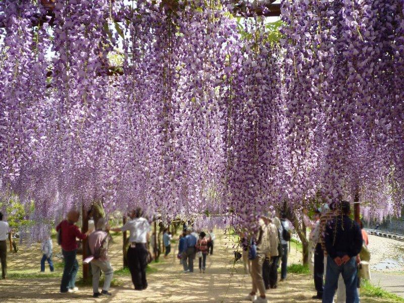 Part of the stunning wisteria trellis