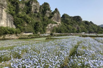 Nemophila Season at Yabakei Valley