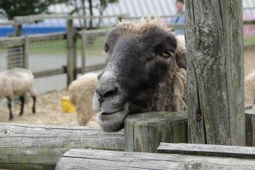 A curious sheep at the Aso Milk Farm