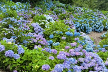 Hydrangea Season at Kannonyama Park