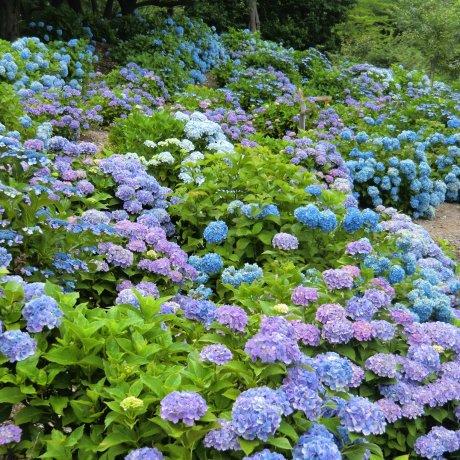 Hydrangea Season at Kannonyama Park