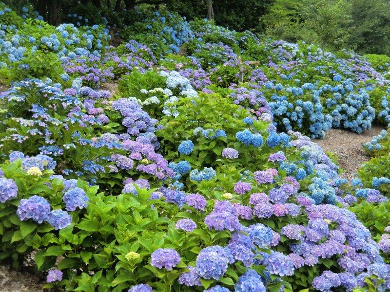 Beautiful hydrangeas at Kannonyama Park