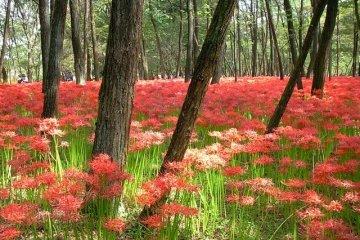 เทศกาลดอกแมนจูชาเก โคมา