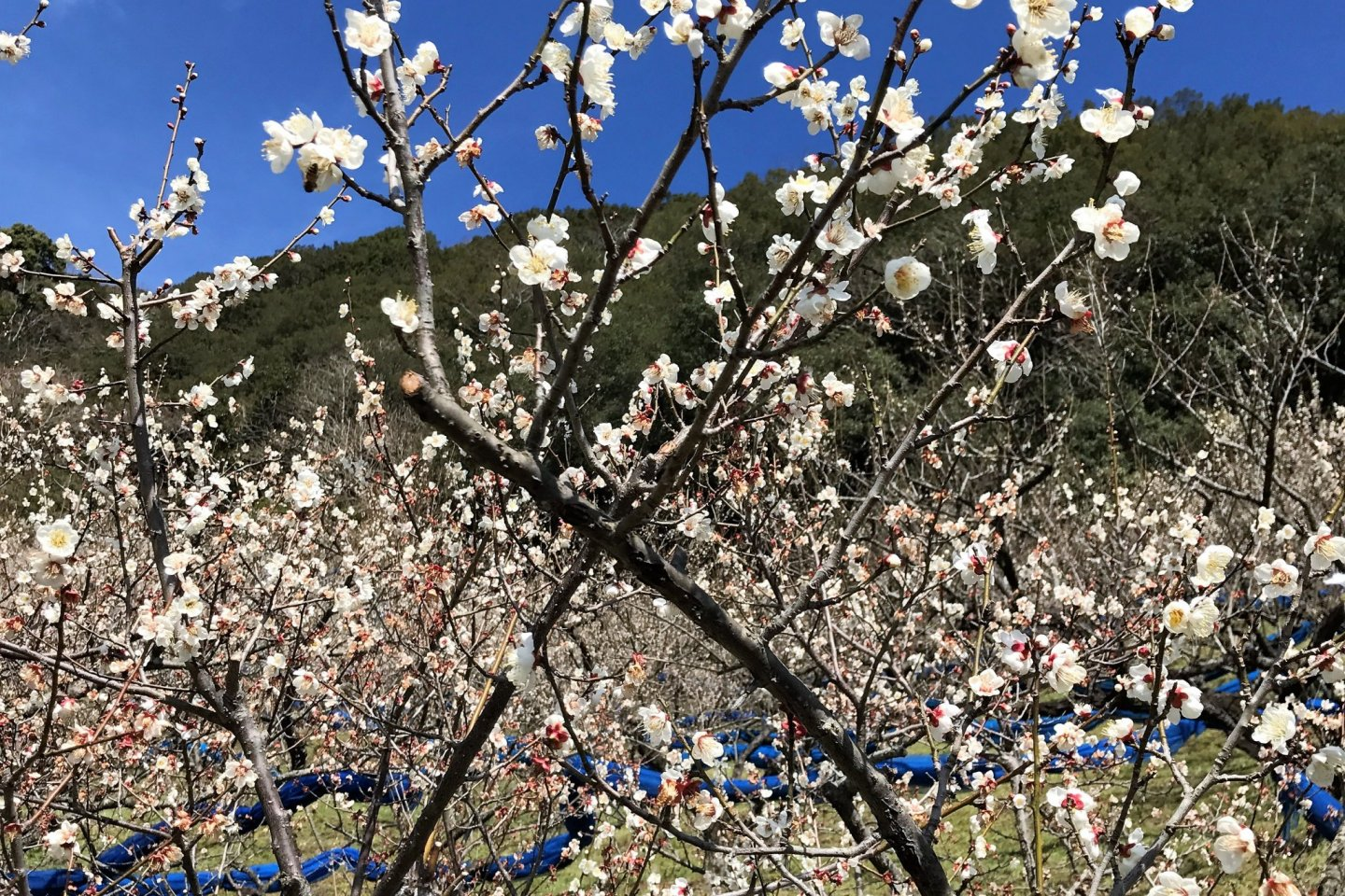 White plum blossoms are a beautiful sight on a sunny day in February