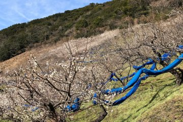 Plum trees cover the hillsides. The blue plastic sheets will be rolled out in June for harvesting the green plums.