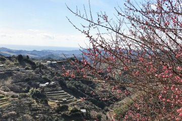 Plum blossoms are not only white but there are also pink, red and yellow blossoms
