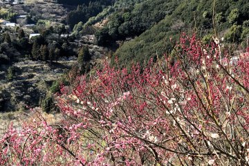 Plum blossoms can be quite colorful in shades of pink and red
