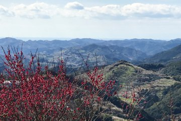 Overlooking the hillside covered in plum trees