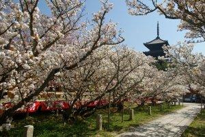 Beautiful omorozakura at Ninna-ji